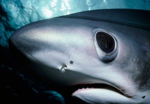 ca. 1990-2002, Cocos Island National Park, Puntarenas Province, Costa Rica --- Bigeye Thresher Shark's Head --- Image by © Jeffrey L. Rotman/Corbis