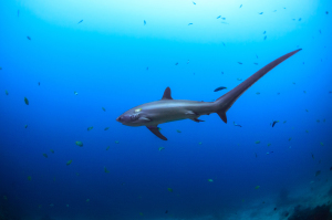 The common thresher stands out with its unique, whip-like caudal fin.