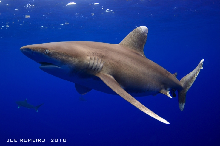 rs_oceanic_whitetip_shark_Joe_Romeiro_5